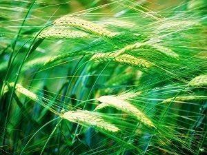 młody zielony jęczmień nasiona