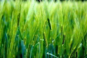 młody zielony jęczmień pole