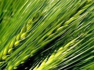 zielony jęczmień ziarna