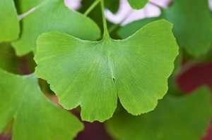 ginkgo giapponese in signilight plus