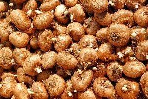 луковица крокус - ингредиент крем Perle Bleue